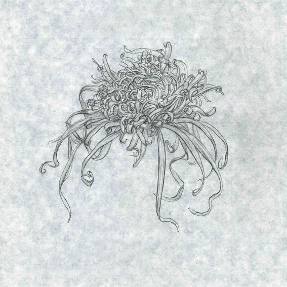 古典菊 伊勢菊の開花過程その2