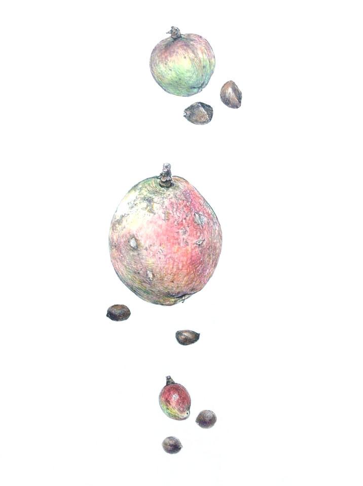ツバキの実 Camellia nuts