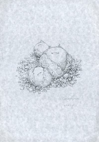 多肉植物 コノフィツム・バンジリー