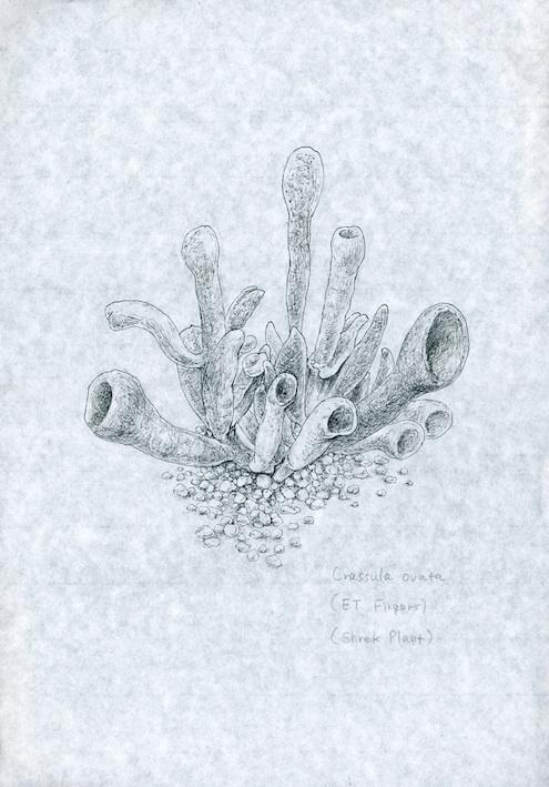 植物画 クラッスラ・オバータ