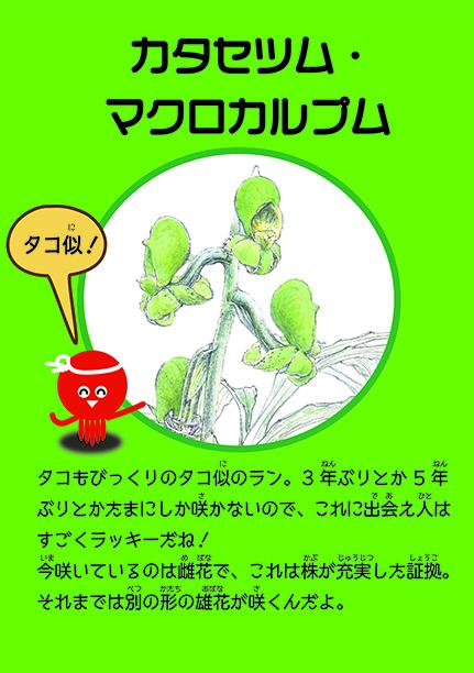 カタセツム・マクロカルプムは3Dタコそっくりランです!(温室POP)