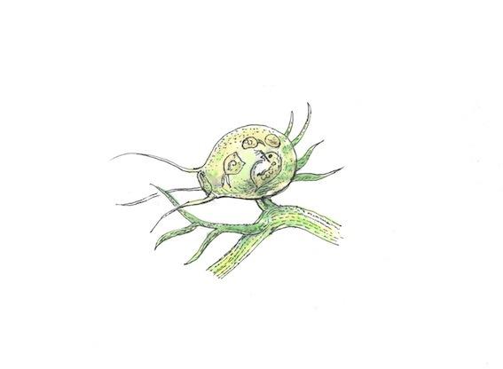 タヌキモ(解説板用)