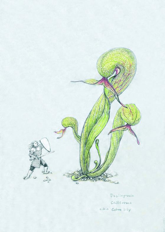食虫植物 ダーリングトニア