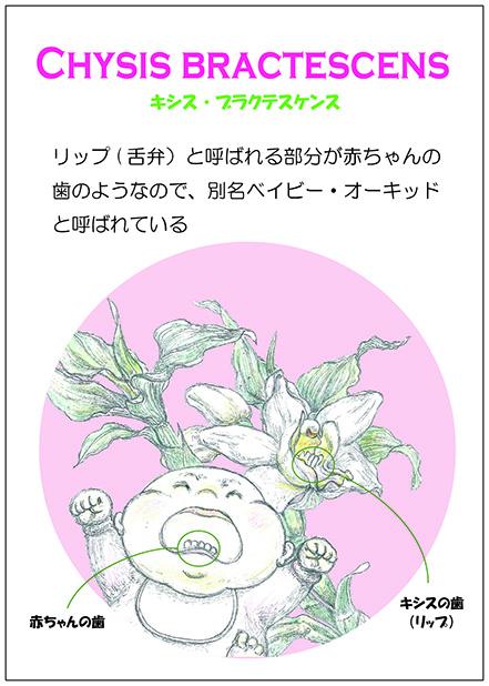 赤ちゃんの歯 キシス・ブラクテスケンス(温室 POP)